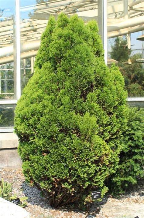 non flowering shrubs non flowering plants non flowering outdoor plants