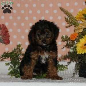 yorkie poo maryland yorkiepoo puppies for sale from reputable breeders greenfield puppies