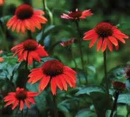coneflower colors coneflower big sky series garden housecalls