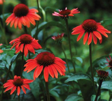 coneflower big sky series garden housecalls