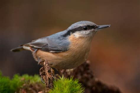 red breasted nuthatch song of america birdseed
