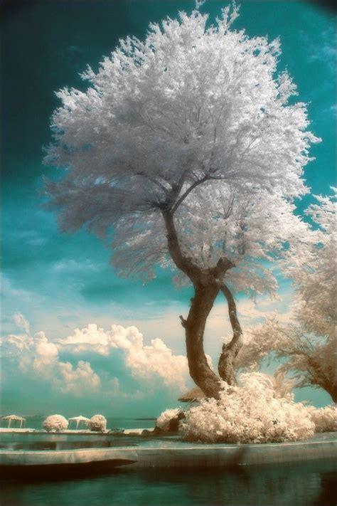white tree infrared photography tree hugger