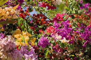 bougainvillea colors bougainvillea flowers of mixed colors by tim laman