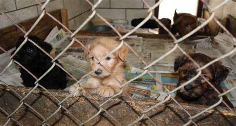 puppy mill pictures beware of puppy mills wheaten whoodle world
