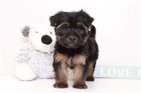yorkie puppies for sale naples fl 25 best ideas about yorkie poo puppies on puppies