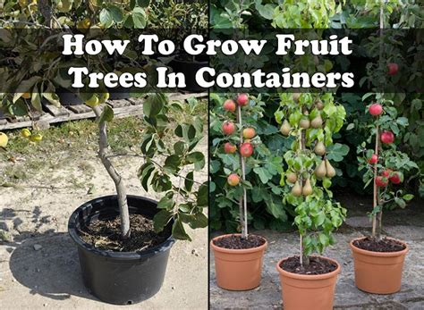 how to grow apple trees in backyard how to grow fruit trees in containers