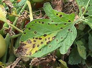 Tomato Plant Diseases Identification - diagnosing and controlling fungal diseases of tomato in the ho