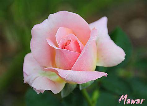 design bunga mawar bunga bunga mawar rose merah pictures images photos auto