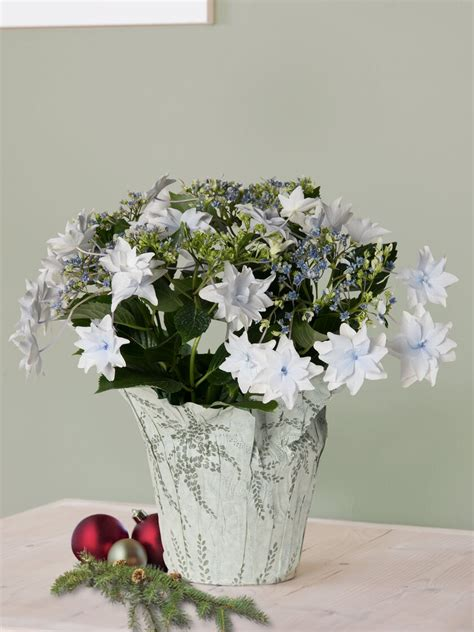 bright white shooting star potted hydrangea gardeners
