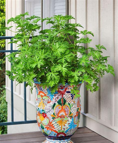 mosquito plants 25 best ideas about citronella plant on pinterest repel