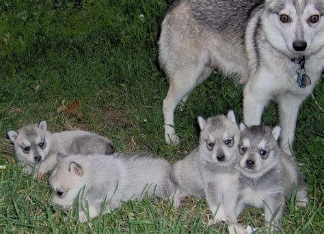klee puppy alaskan klee info temperament puppies care pictures