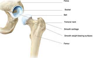 Anatomy of the hip