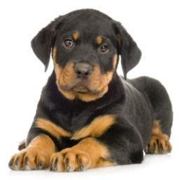 rottweiler puppy guide a guide to choosing your rottweiler puppy