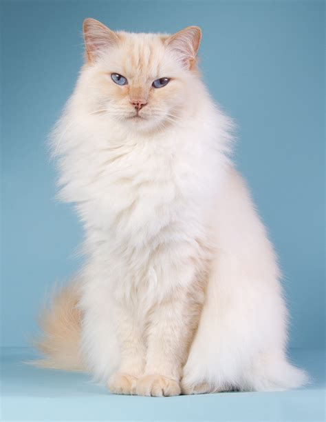 2 ragdoll cats 230 ragdoll cat names great ideas for naming your