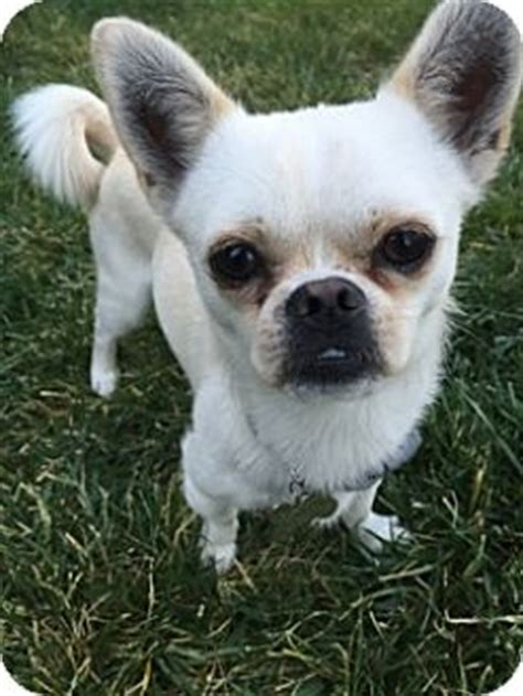 pugs las vegas las vegas nv chihuahua pug mix meet chestnut a for adoption