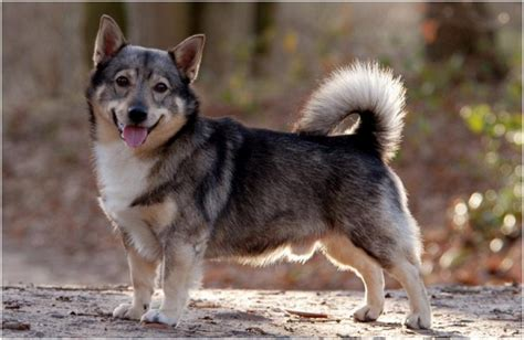 swedish breeds swedish vallhund facts pictures breeders puppies price temperament animals adda