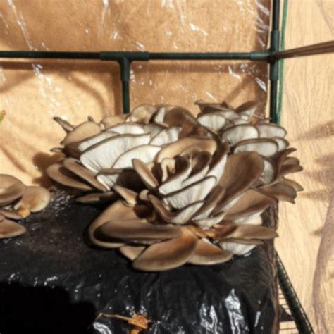 setas para cultivar en casa c 243 mo cultivar setas en casa