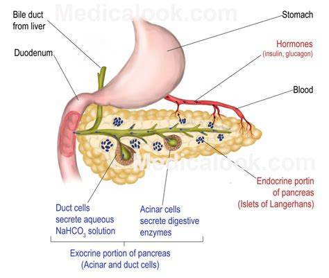 where is your pancreas located diagram pancreas diagrams diagram site