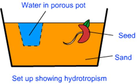 Design Experiment To Demonstrate Hydrotropism | design an experiment to demonstrate hydrotropism