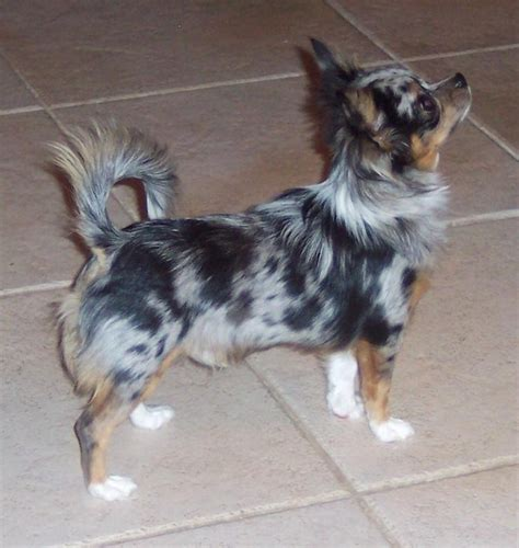 blue merle chihuahua puppies even i would own a chihuahua if it were a haired