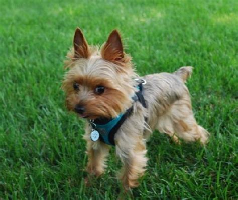 yorkie rescue in pa randi s web page