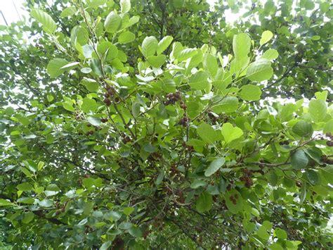 albion trees 187 european alder