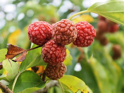 mulberry chinese cudrania tricuspidata seedless the agroforestry research trust