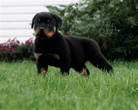 gateway rottweilers the rottweiler is a medium to large size breed of breeds picture