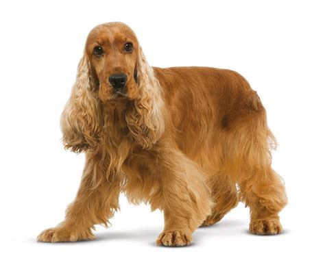 imagenes de english cocker spaniel chien cocker anglais chien et chiot fiche de race du