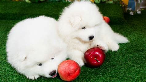 can puppies apples 15 cutest puppies that will melt your barking royalty