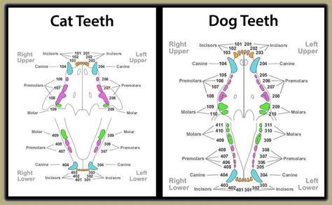 cat teeth diagram veterinary dentist houston tx animal hospital