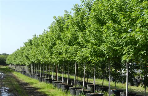 autumn blaze maple tree dallas fannin tree farm frisco tx