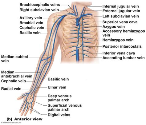 vein diagram of arm anatomy of arm veins for venipuncture image collections hu