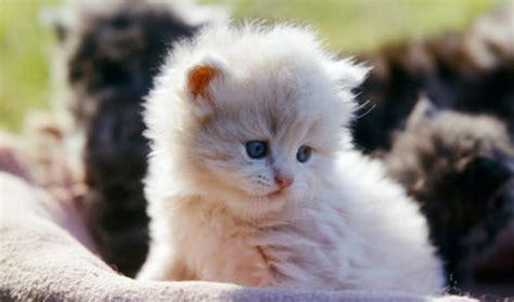foto dei gatti persiani immagini di gatti persiani wr39 187 regardsdefemmes