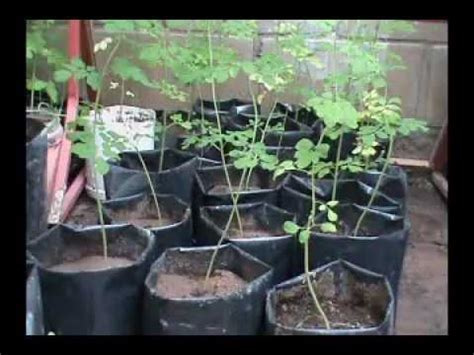 video de la planta de moringa youtube arboles y semillas de moringa oleifera youtube