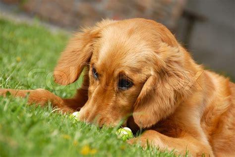 best shoo for golden retriever golden retriever portrait outdoor on grass stock photo colourbox