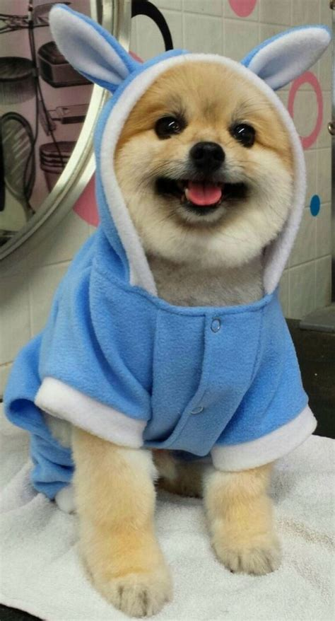 bunny pomeranian baloo the pomeranian in a blue easter bunny jumper few things in this world are cuter