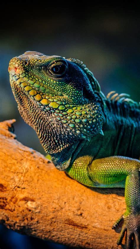 wallpaper iguana lizard cute animals animals
