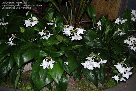 amazon lily plantfiles pictures amazon lily eucharis grandiflora by
