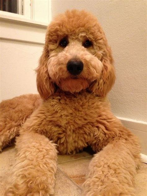 doodle haircuts 17 best ideas about goldendoodle haircuts on
