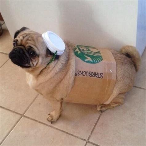 pictures of pugs dressed up pugs dressed up pugs dressed up
