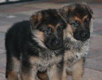 pictures of german shepherd puppies at 8 weeks pin week german shepherd puppies pictures on