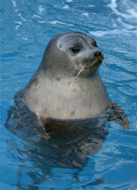 sea dogs facts about the harbor seal