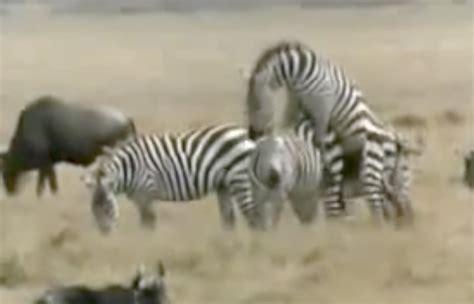 apareamiento animales salvajes animales apare 225 ndose apareamiento animal alucinante