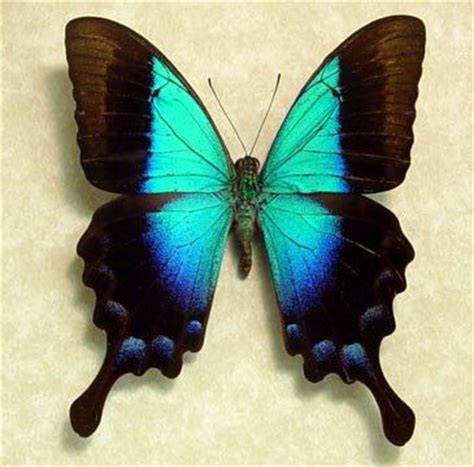 92 best mariposas azules y algo m 225 s images on