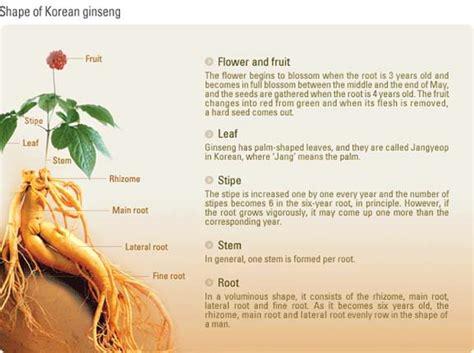 Anggur Ginseng panax ginseng season