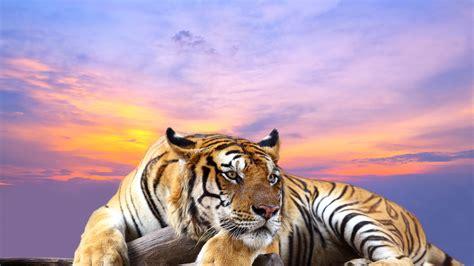 imagenes 4k tigre cute tiger 4k ultra hd wallpapers