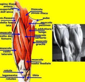 tendine interno coscia muscoli della coscia posteriori muscolarmente it