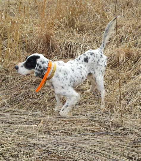 bird dogs for sale dogwood bird dogs offers setters dogs bird dogs fdsb