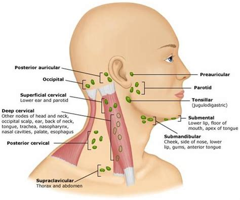 lymph node in neck diagram and neck lymphatics